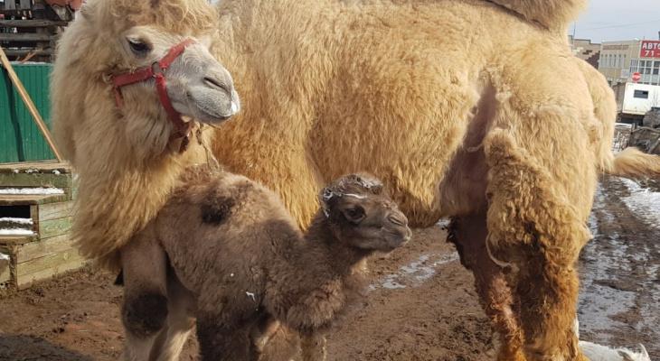 Жители Коми голосуют за имя для сыктывкарского верблюжонка