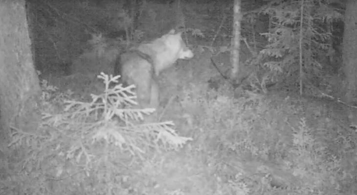 Фотоловушка в коми заповеднике сняла волка за обедом (видео)