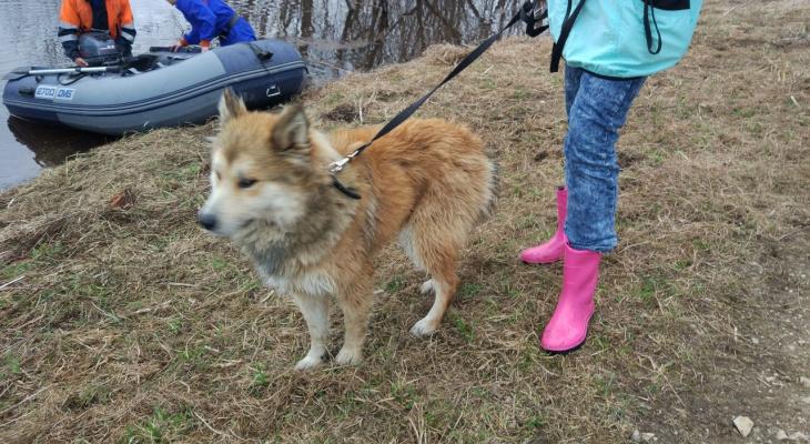В Коми спасли собаку, которую бросили умирать на острове