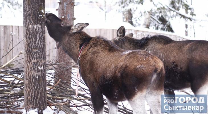 В Коми медведь проник в этнопарк и задрал лосей Моню и Мулю