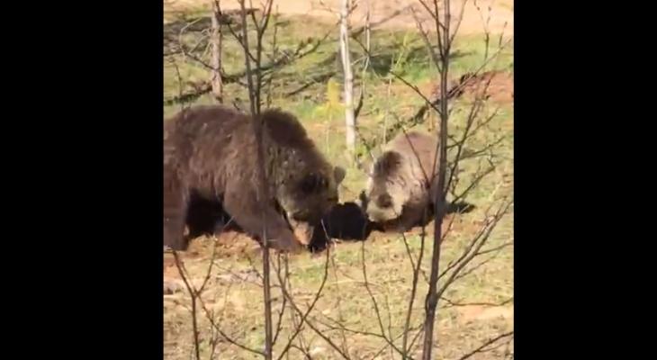 Житель Коми встретил семейство очаровательных медведей (видео)