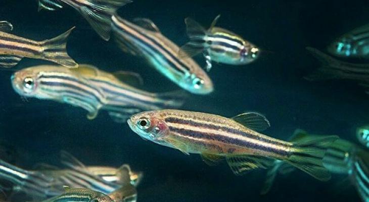 Ученые обнаружили у рыбок феномен отчаяния