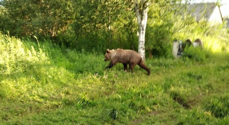 Как у себя дома: по дачным участкам жителей Коми разгуливает медведь (фото)