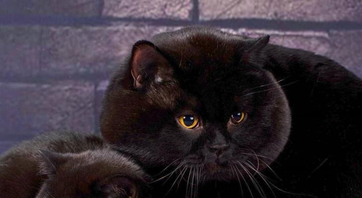 В России нашли невероятно щекастого кота (фото)