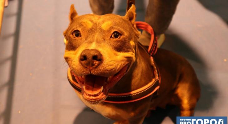 Пушистая милость и гладкошерстая брутальность: в Сыктывкаре прошла выставка породистых собак (фото)