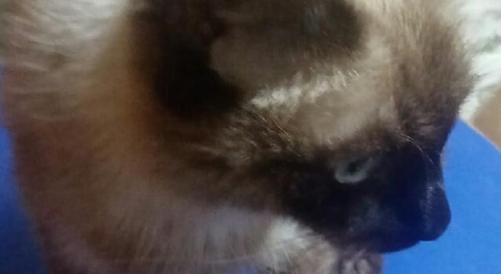 «Предлагают усыпить, но я так не могу»: сыктывкарка собирает деньги на лечение кошки, больной раком