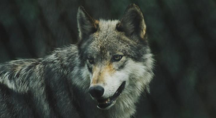 Сыктывкарец испугался волков и потерялся в лесу