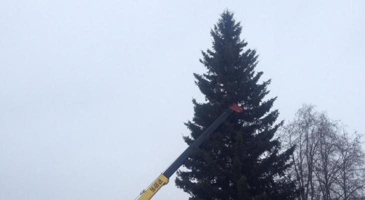 В Коми нашли елку для Стефановской площади (видео)