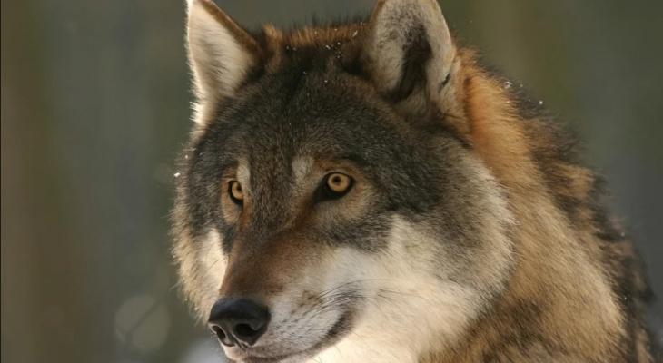 Жители коми поселка оскорбляют охотников, которые защищают их от волков