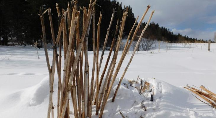 Одно из самых опасных растений России достигло Арктики