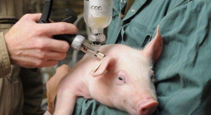 Африканская свиная чума в Коми: эксперты рассказали об опасности болезни для человека