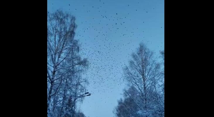 Ученые рассказали, откуда в Сыктывкаре взялось такое чудовищное количество ворон