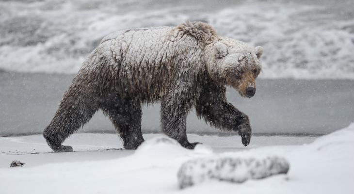 В Коми объявился медведь-шатун