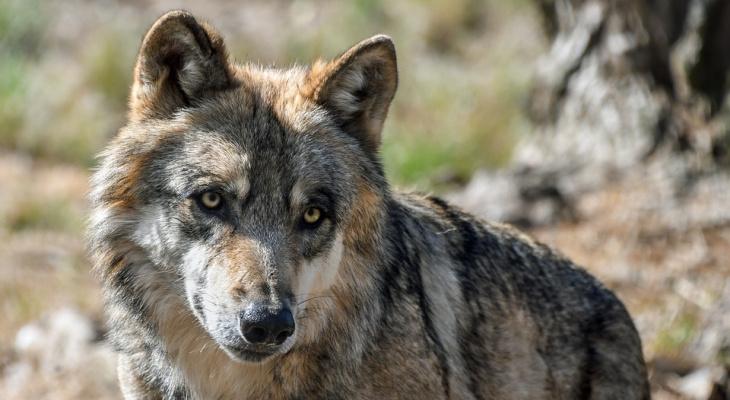 В одном из районов Коми попросили разрешить круглогодичную охоту на волков