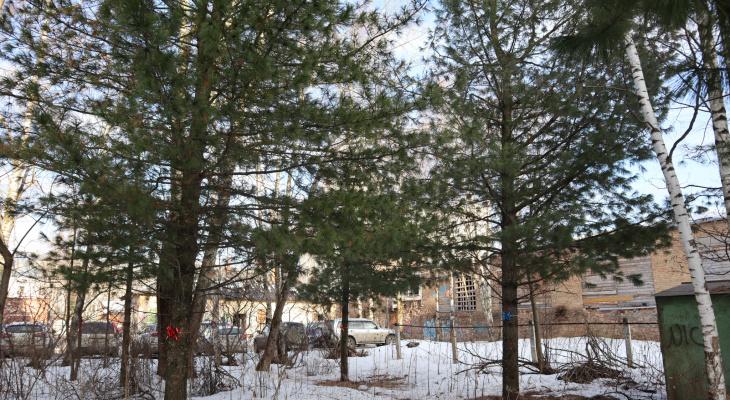 Кедровые войны: деревья в центре Сыктывкара хотят «укатать в бетон»