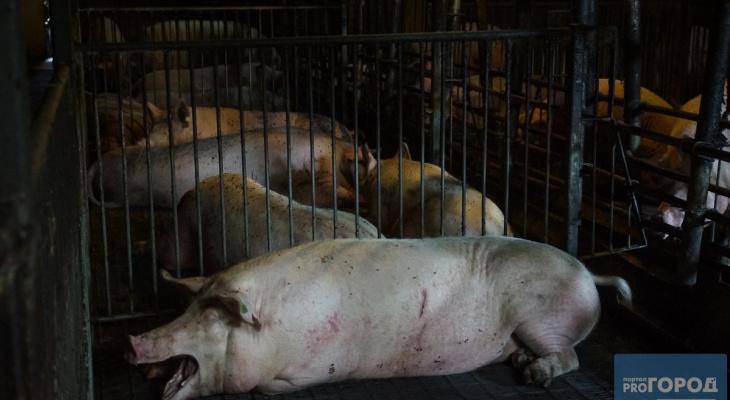 В Сыктывкаре сняли карантин по африканской чуме свиней
