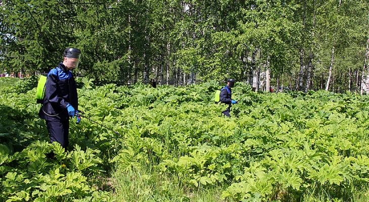 Миллион рублей потратят на «травлю» борщевика в Сыктывкаре