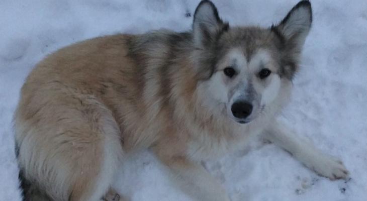 Бывший бездомный пес спас жизнь тонущей ухтинке