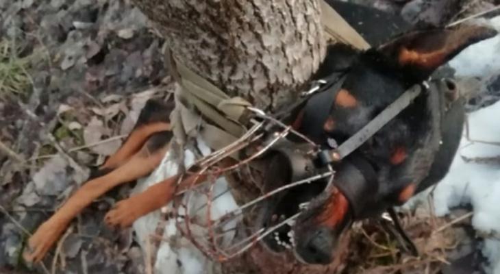 В Сыктывкаре неизвестные привязали пса к дереву и бросили умирать