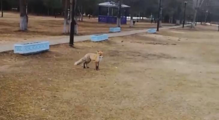 По Сыктывкару гуляла дикая лисица