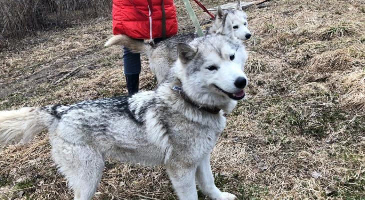 В Коми целую упряжку хаски бросили на съедение волкам