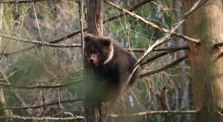 Медведица Пужа передала привет жителям Коми (видео)