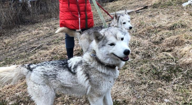 Хаски, которых бросили на растерзание волкам, нашли новых хозяев