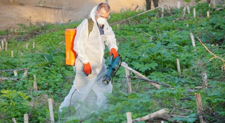 В Сыктывкаре от борщевика обработают почти 800 тысяч квадратных метров