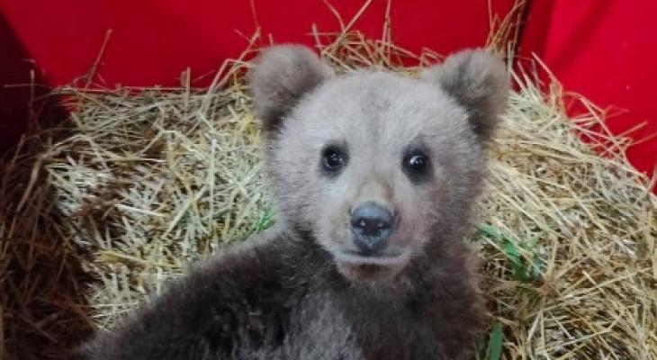 Мишка, который искал попутчиков в Коми, отправится к медведице Пуже