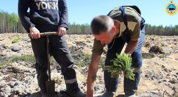 Заключенные и сотрудники колонии-поселения в Коми высадили 4 гектара сосен