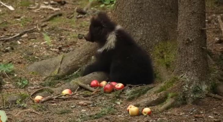 Медведица Пужа умиляет жителей Коми в новом видео
