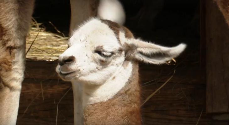 В Сыктывкаре родился милый малыш-лама (видео)