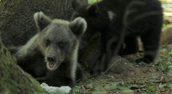 Медвежонок из Ухты нашел друга в своем новом доме (фото)